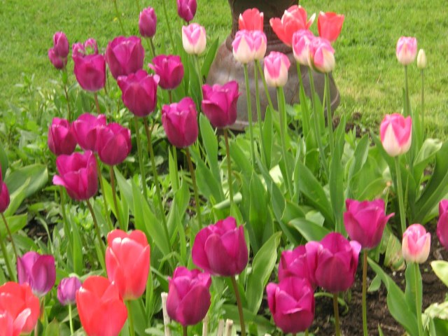 Its time to talk  Tulips