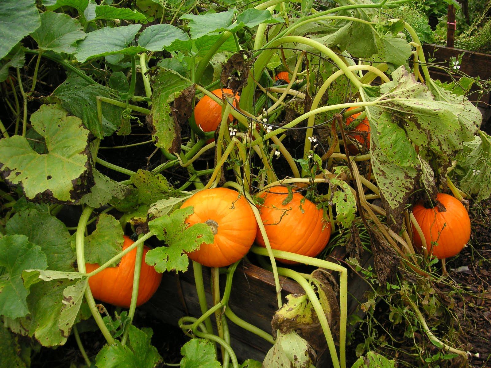 How to grow a pumpkin in your garden