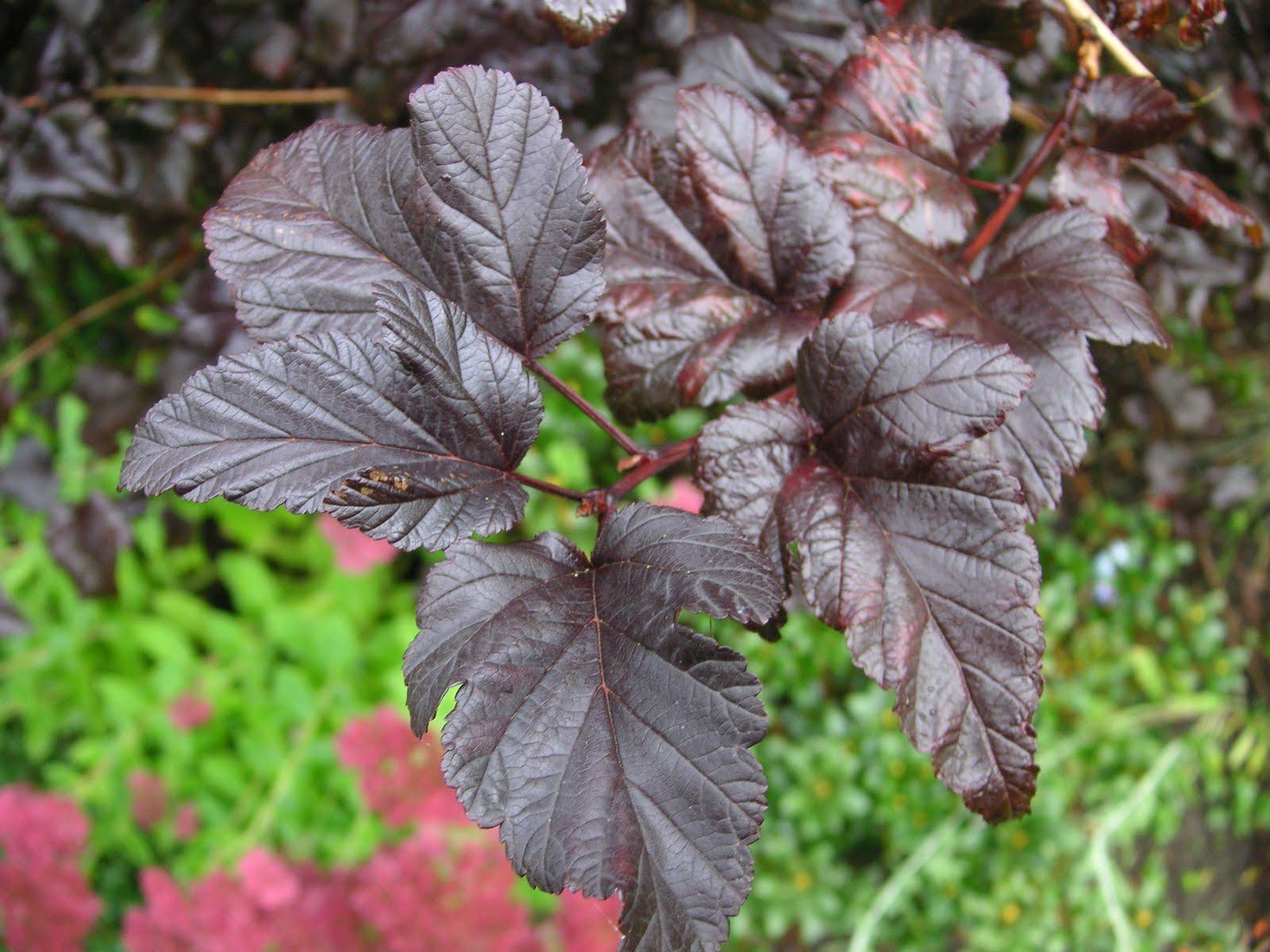 Mallow Ninebark leaves | Physocarpus malvaceus is a locally … | Flickr