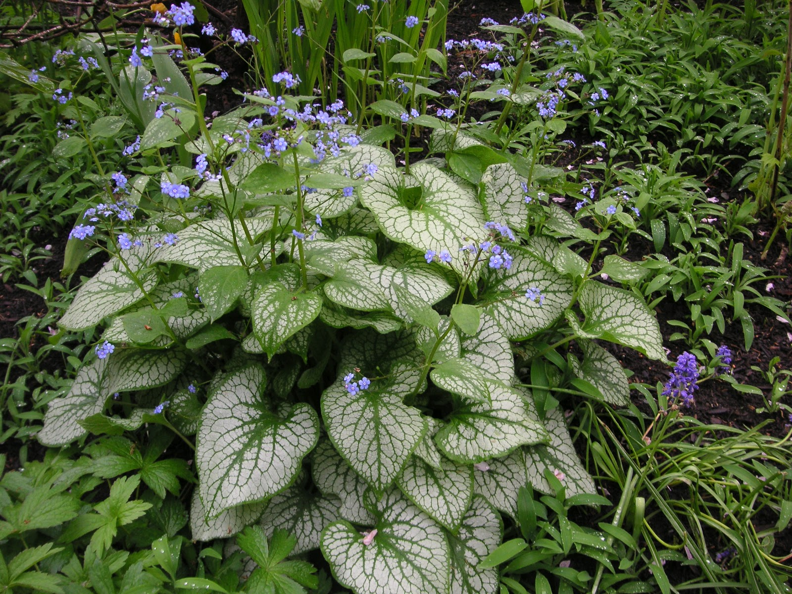 Perennials That Grow Under Oak Trees : May that bloomin garden page