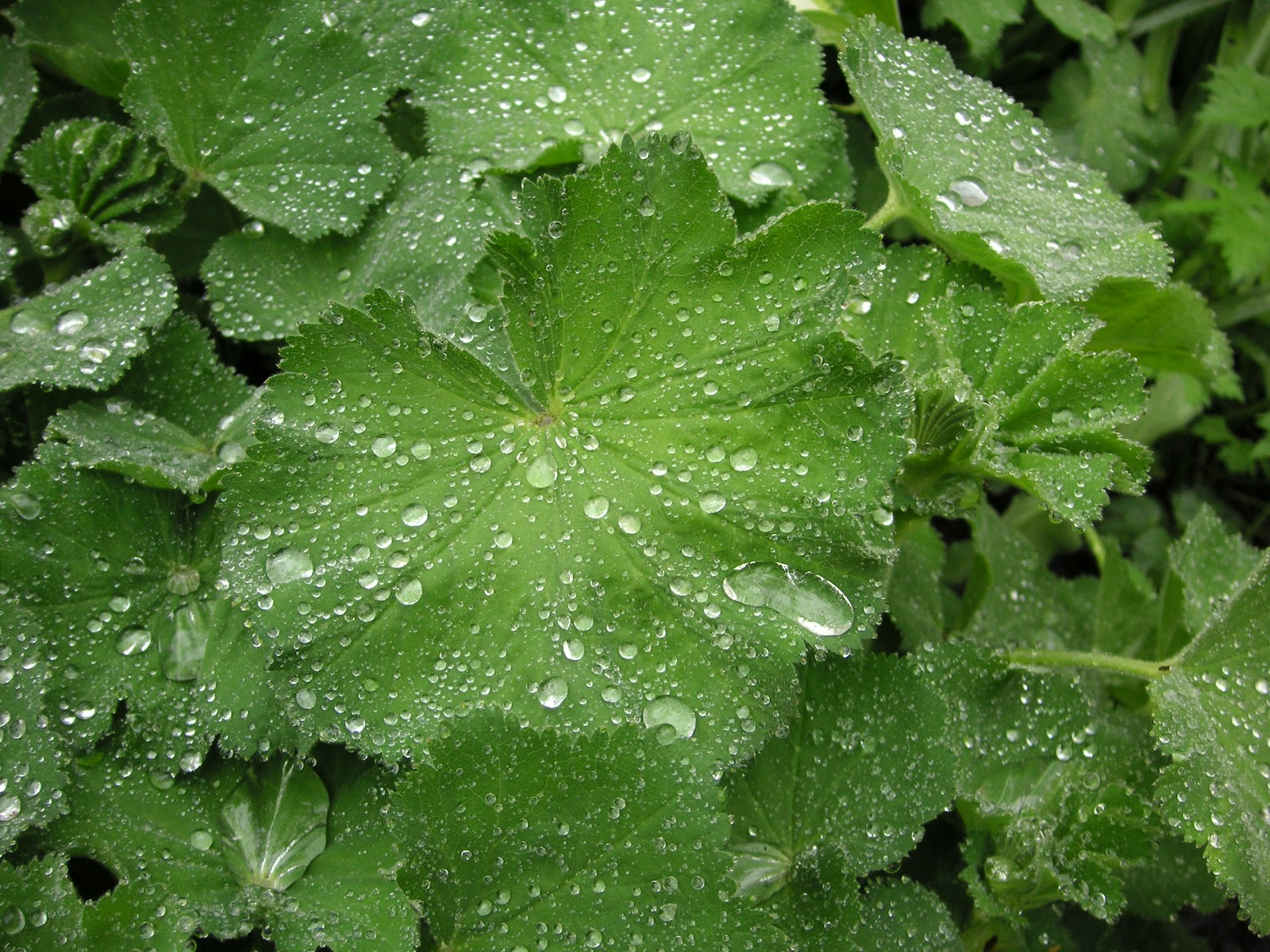 Linnaeus Day Alchemilla Lady S Mantle That Bloomin 39 Garden