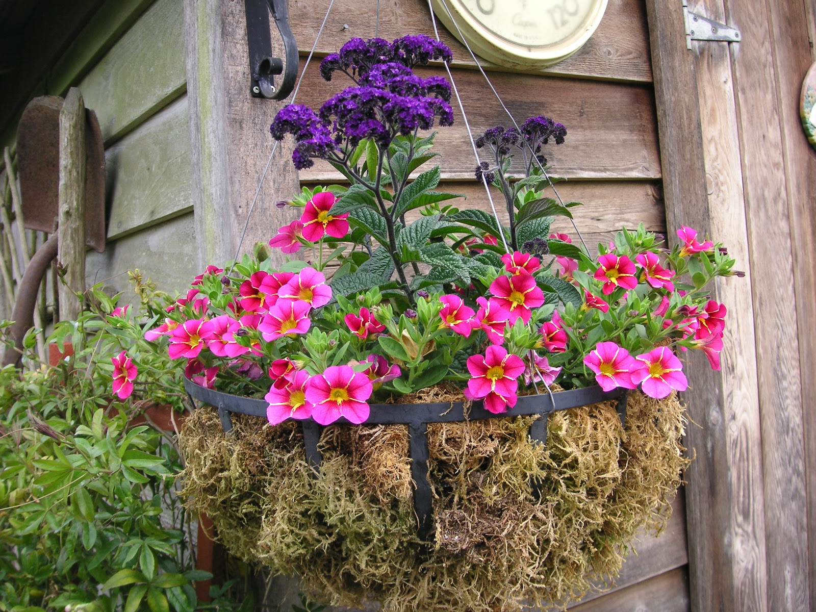 meet cherry star a new winner for hanging baskets that bloomin 39 garden. Black Bedroom Furniture Sets. Home Design Ideas