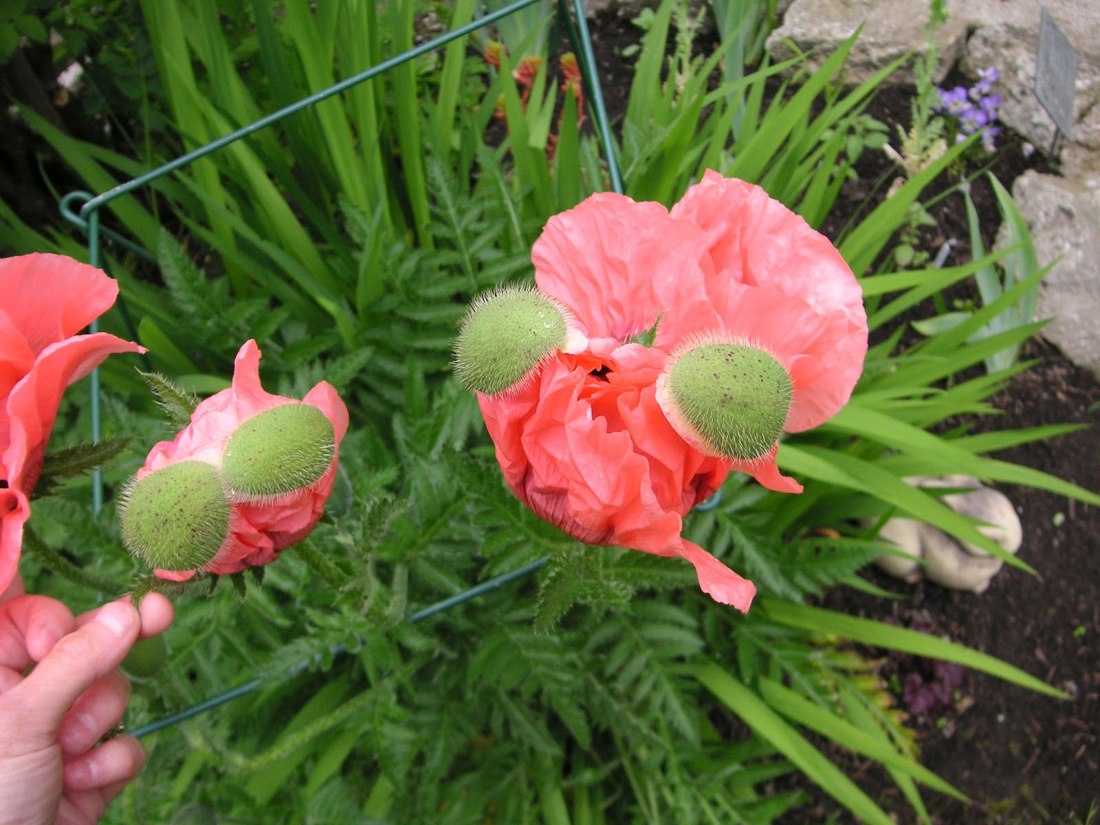 Papaver That Bloomin 39 Garden