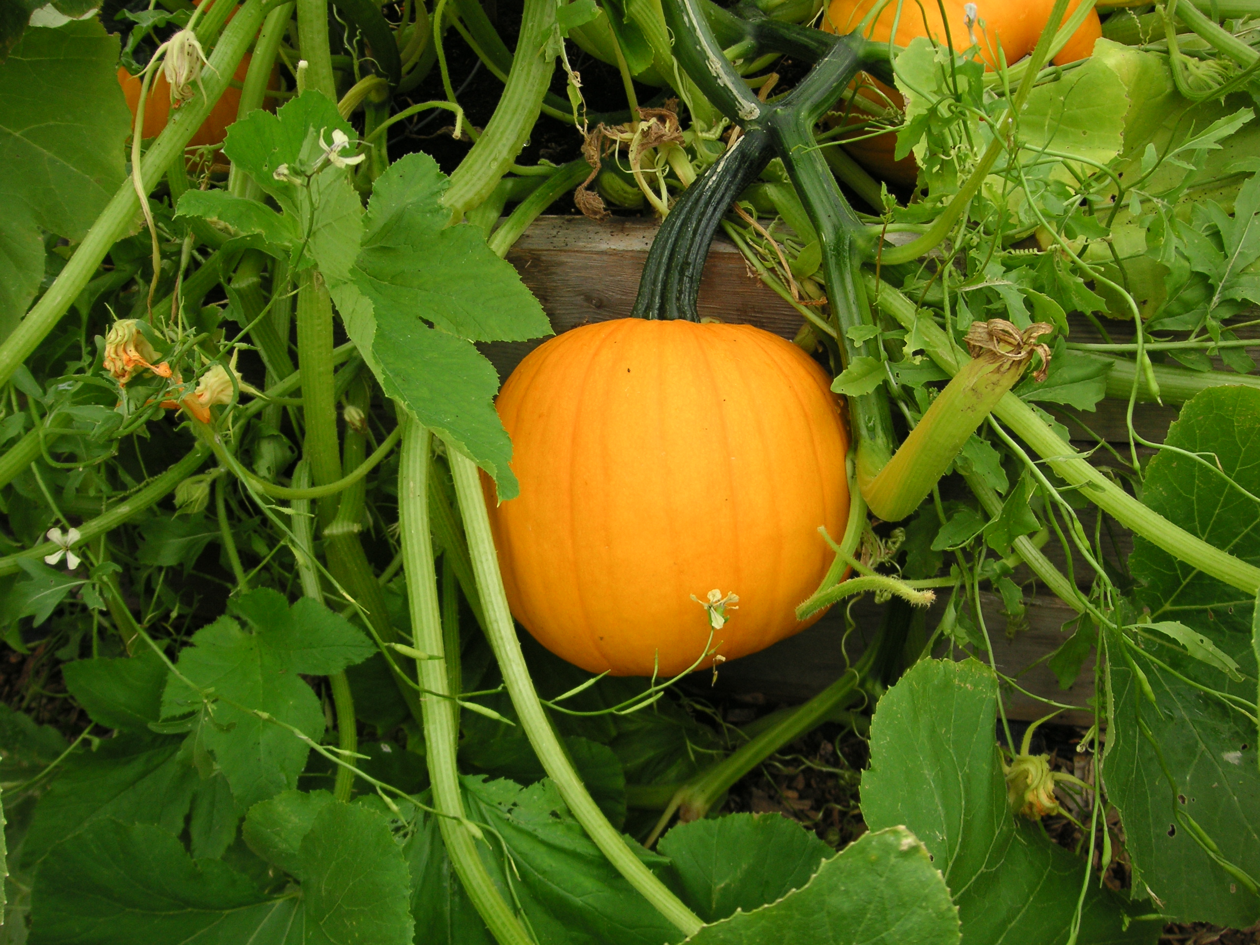 Growing asian pumpkin from seed