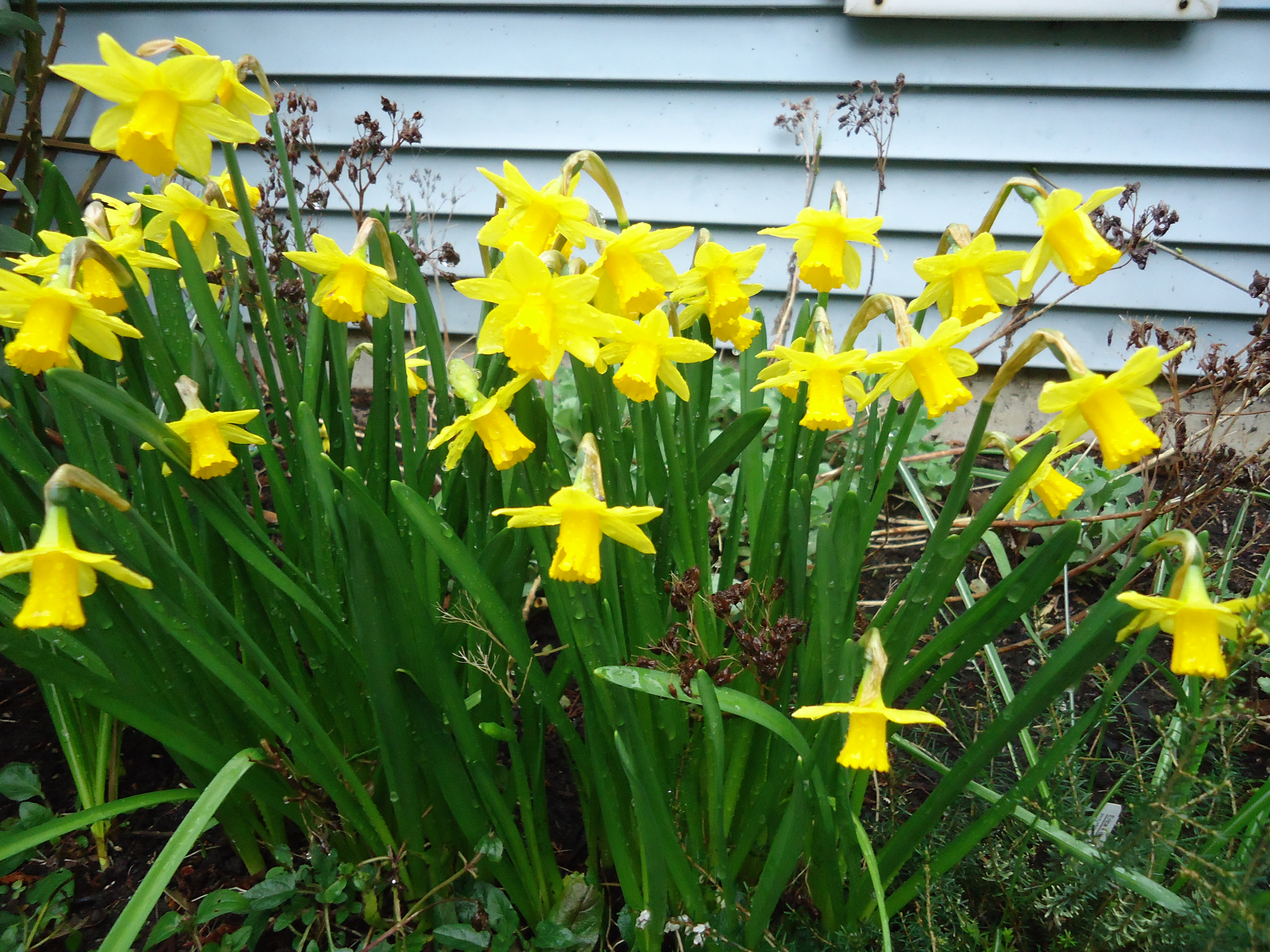 Narcissus that bloomin 39 garden - Flowers that bloom all year round ...