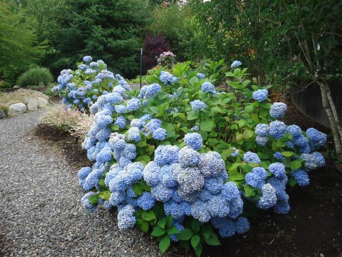 Hydrangea garden