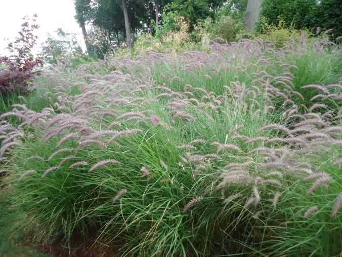 fountain grass as edging for paths