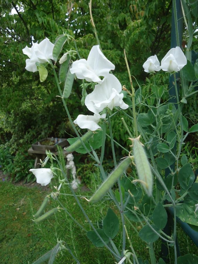 Adding Fragrance to the Garden