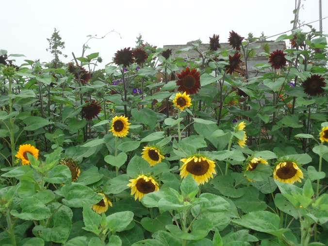 A day at the farm- Sunflowers
