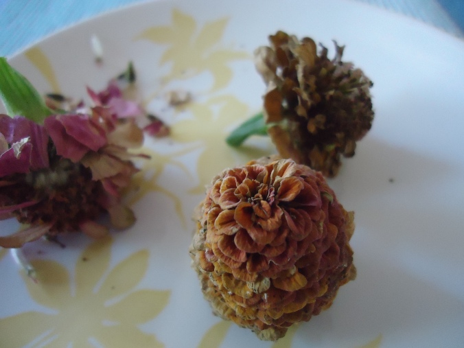 How to collect zinnia seeds