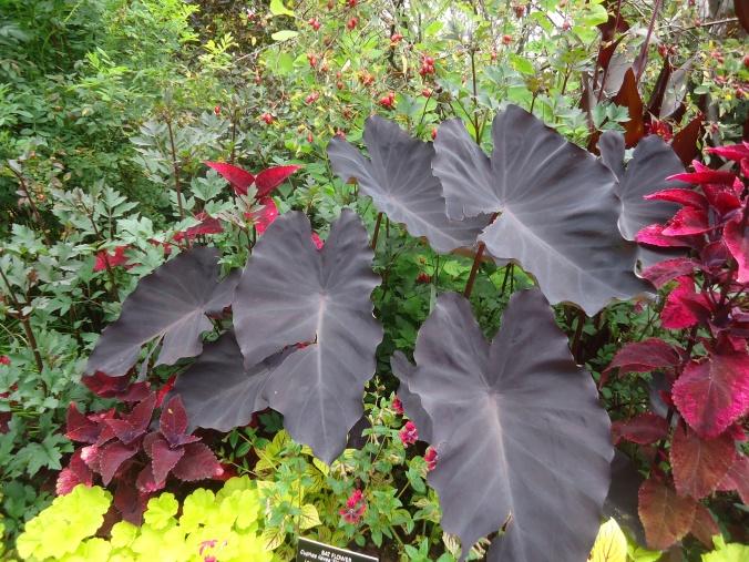 Black garden plants