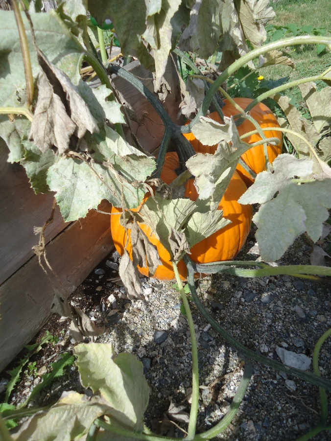 pumpkin surprise at the school garden