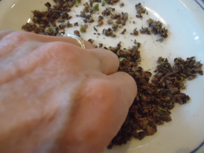 How to collect basil seed
