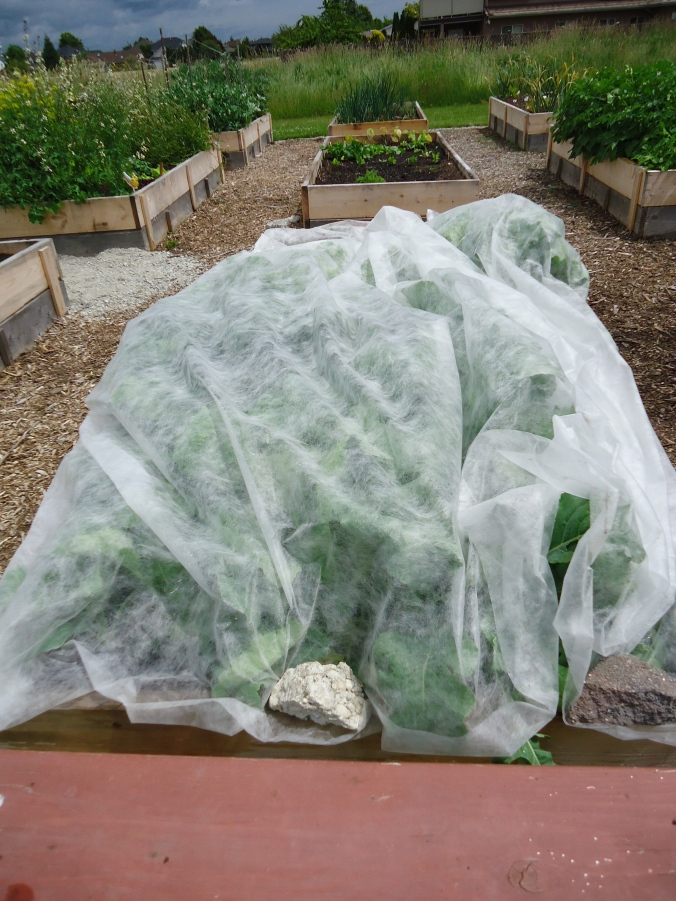 How to keep your brassicas pest free