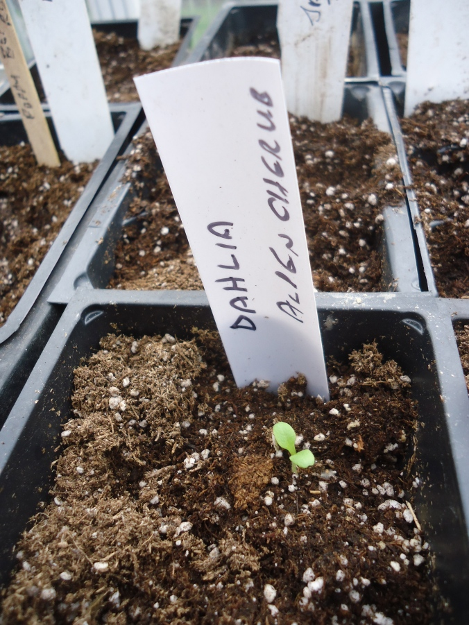 January garden chores in the greenhouse