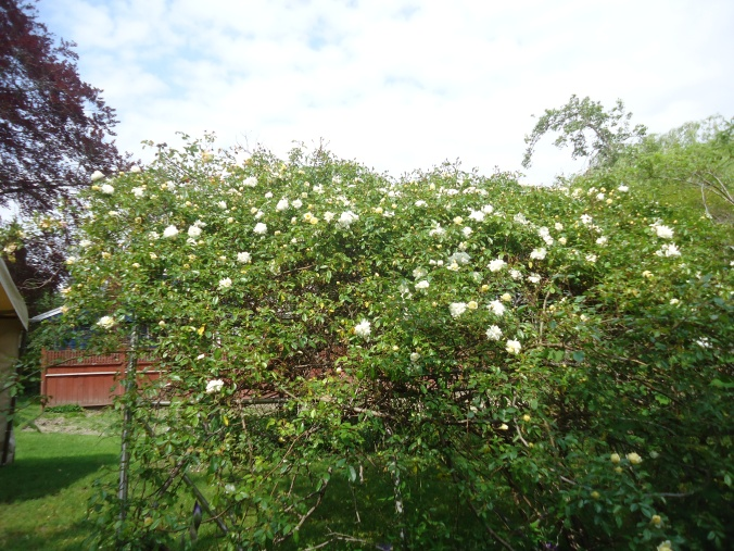 Garden Bloggers Bloom day- May 2015