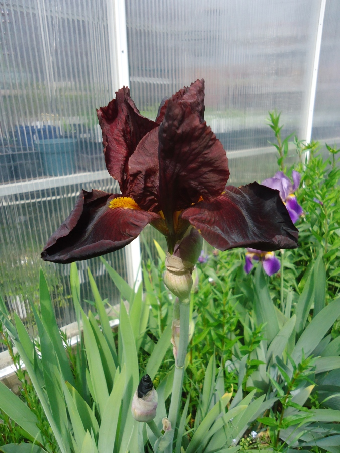 Garden Bloggers Bloom day-May 2015