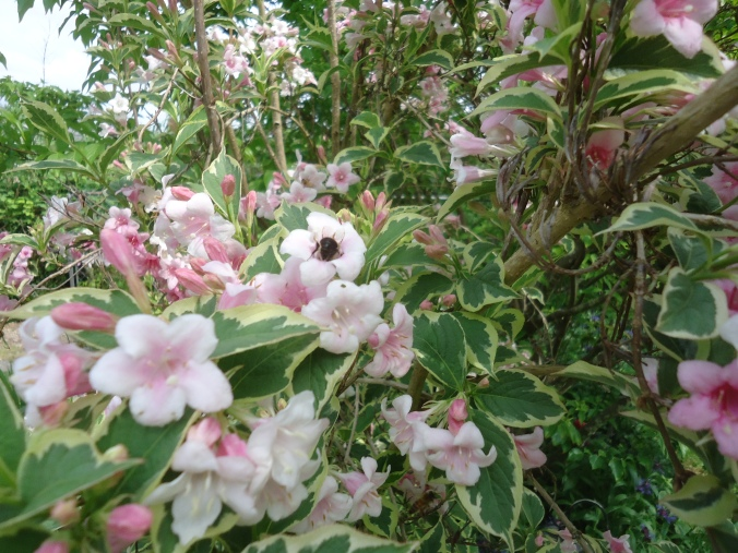 Garden Bloggers Bloom Day -May 2015