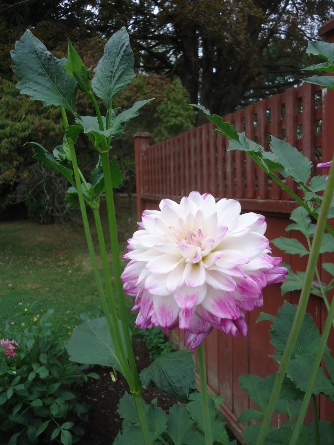 Garden Bloggers Bloom Day-August 2015