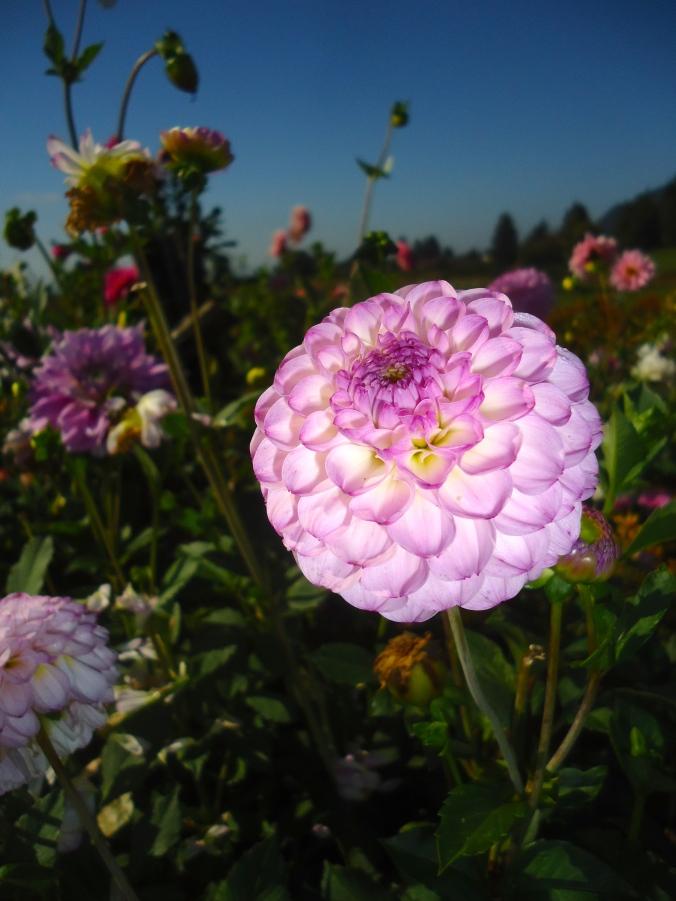A Visit to a Dahlia Garden