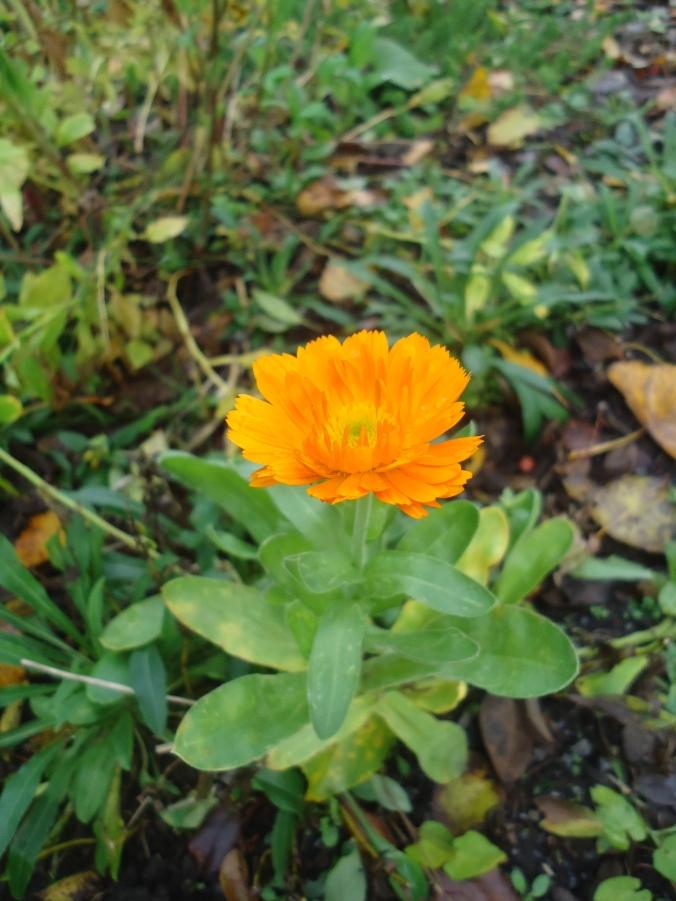 Garden Bloggers Bloom Day- November 2015