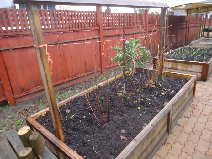 Transplanting the Raspberry canes
