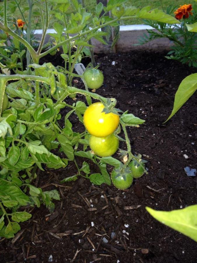 Tomato Harvest in June