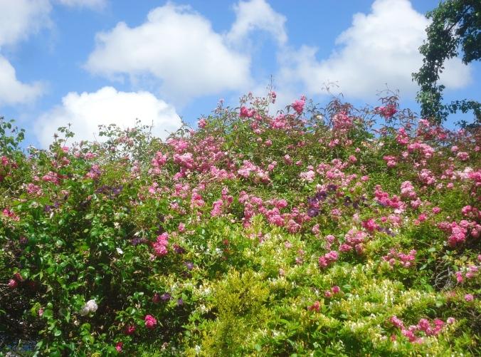 Garden Bloggers Bloom Day- June 2016