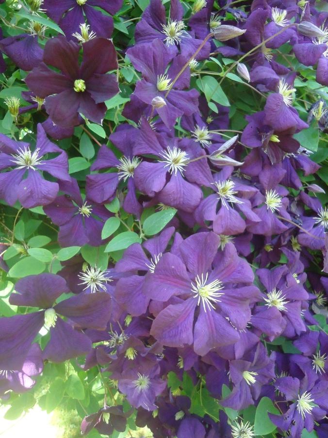 Garden Bloggers Bloom Day-June 2016