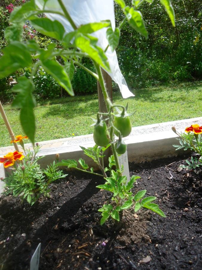 Tomato Harvest in June!